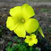 Bermuda buttercup, African wood-sorrel, Bermuda sorrel, Buttercup oxalis, Cape sorrel, English weed, Goat's-foot, Sourgrass, Soursob or Soursop
