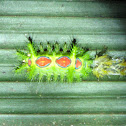 Slug Moth Caterpillar