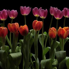 Tulip by Basuki Mangkusudharma - Flowers Flower Gardens ( tulip )