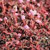 Pink knotweed