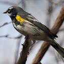 Yellow-rumped (Myrtle) Warbler