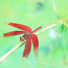 Russet Percher (網脈蜻)
