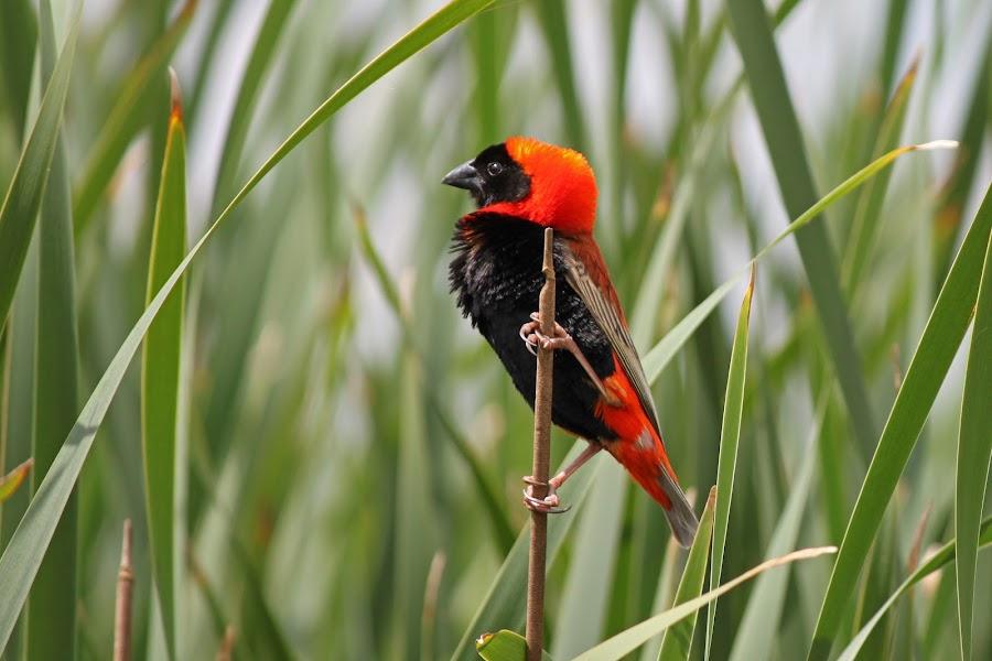 Red Bishop by Dirk Luus - Animals Birds ( bird, bishop, red, nature, animal,  )