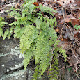 Ferns & Fern Allies of Southeast USA