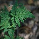 Goldenback fern