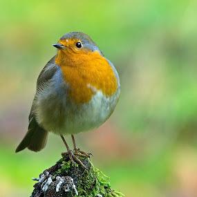 Redbreast by Jürgen Mayer - Animals Birds ( bird, tiny, little, tier, rotkehlchen, redbreast, vogel, klein, animal )