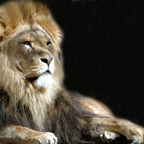 King by Michael Smith - Animals Lions, Tigers & Big Cats