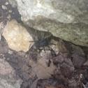 Trapdoor spider (male)