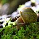 Queen Crater Land Snail
