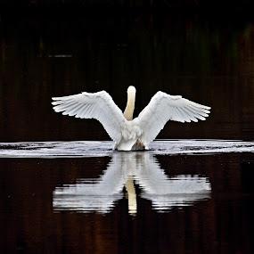Swan II by Zoran Rudec - Animals Birds ( swan )