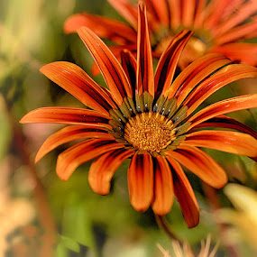 Wild by Radu Eftimie - Flowers Single Flower ( wild, bicolor, flower )