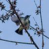 Pygmy Flowerpecker