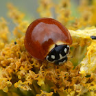 No-spotted Ladybugs