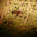 brown palm civet