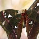 Ceasar Atlas Moth