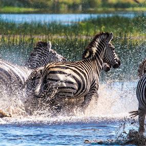 Zebra by Theuns de Bruin - Animals Other Mammals ( b.z. )