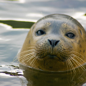 seal appeal by Kevin Towler - Animals Other Mammals ( water, wild, seal, wildlife, mammal, animal,  )