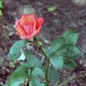 Hybrid Tea Rose 'Tropicana'