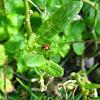 Australian lady beetle (& aphid)