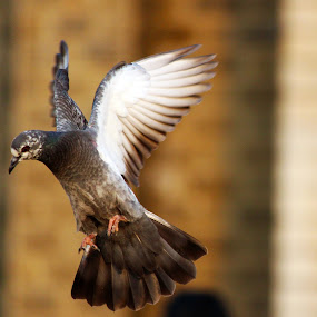 Descending Glory by Seema Nair - Animals Birds ( bird, pigeon, flight, flying bird, dove,  )