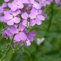 Lapland Syrphid Fly