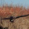 Galapagos hawk (adult)
