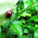 Transverse Ladybug