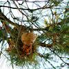 Pine Gall Rust