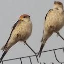 Greater Striped Swallow / Grootstreepswael