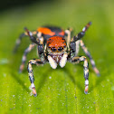 Red Velvet Jumping Spider