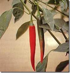 Cabai Merah (Kapsulsicum Annuum L.)