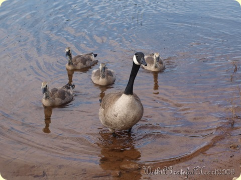 Mamma Goose and Goslings