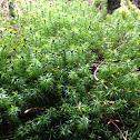 Undulate Atrichum moss