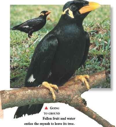 Hill Mynah (Birds) - photo#42