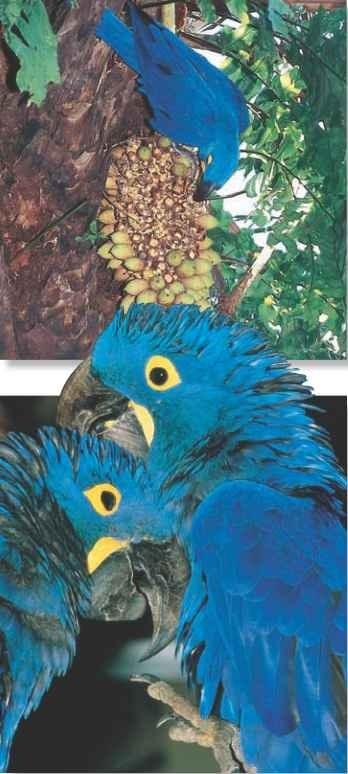 Hyacinth Macaw (Birds)