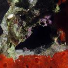 Red triplefin (female)