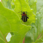 pigweed flea beetle