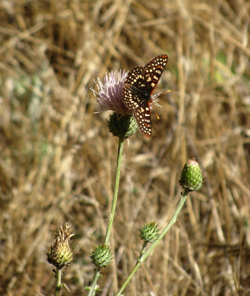 Butterfly alighting on a thistle.