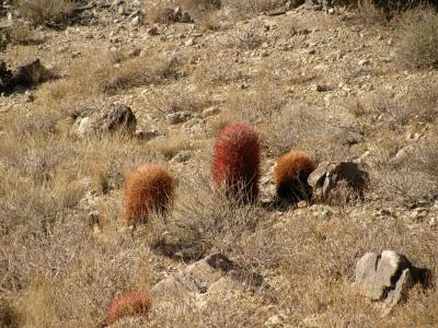 three barrel cacti in a row