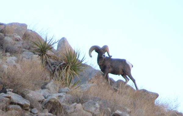 ram coming over the ridge line