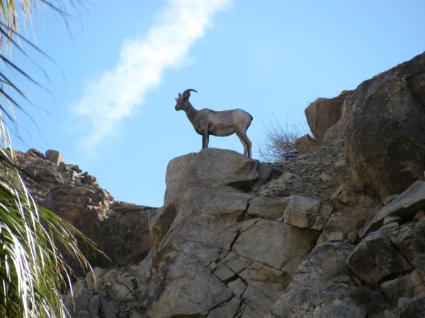 ewe on rocks