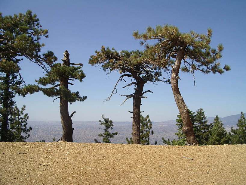 A few pines struggling to survive close enough to the ridge to have a view to both sides.
