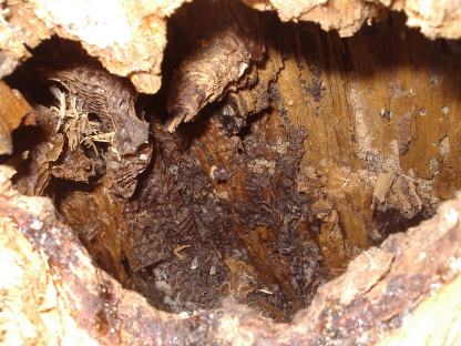 A large hole in a tree where the remnents of honeycomb is visible.