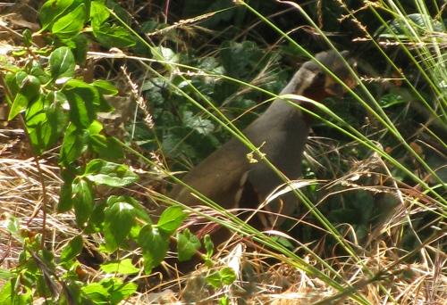 quail in the grass