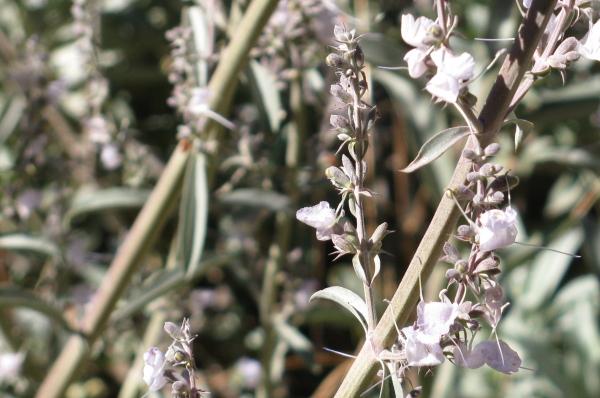 blooms of white sage