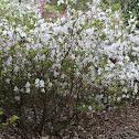 'Gumpo White' Azalea