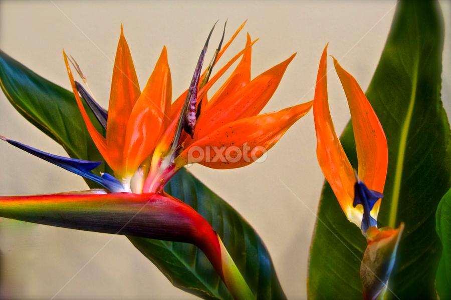 Strelitzia: Bird of Paradise by Venetia Featherstone-Witty - Flowers Single Flower ( strelitzia, orange flower, queen charlotte, tropical flower, perennial plant, south africa, tropical, plants, bird of paradise, flowers,  )