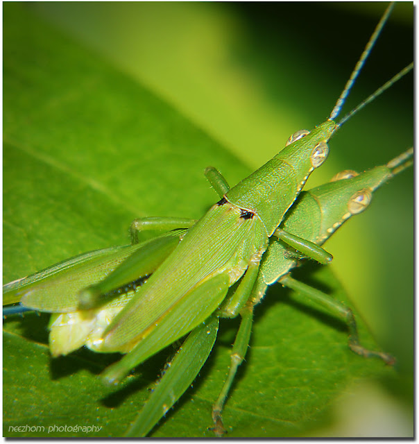 grasshopper mating make love picture
