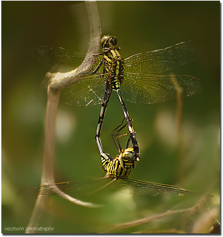 dragonfly mating make love sex picture