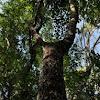 Chechem tree